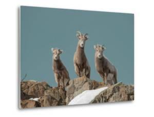 Portrait of Three Young Bighorn Sheep Standing on a Cliff by Tom Murphy