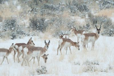 Pronghorns, Antilocapra Americana, Foraging During a Snowstorm by Tom Murphy