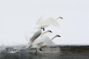 Trumpeter Swans Take Flight by Tom Murphy