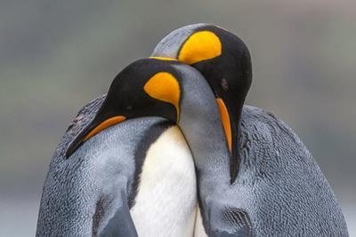 Two King Penguin, Aptenodytes Patagonicus, Embracing