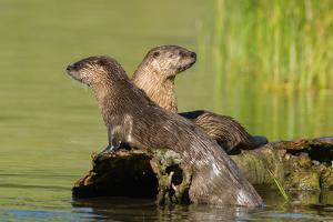 Two Northern River Otters Enjoying a Warm Summer Day by Tom Murphy