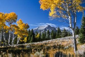 Vibrant Yellow Foliage on Aspen Trees and Electric Peak in the Background by Tom Murphy