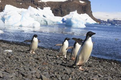Adelie Penguin. Devil Island, Antarctica. by Tom Norring