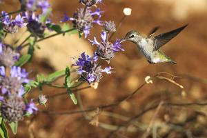 Anna's Hummingbird, Santa Cruz, California, USA by Tom Norring