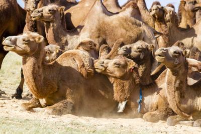 Bactrian Camel Herd. Gobi Desert. Mongolia. by Tom Norring