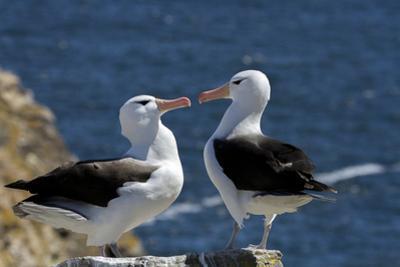 Black-Browed Albatross. Saunders Island. Falkland Islands. by Tom Norring