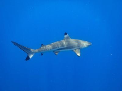 Blacktip Reef Shark in the Lagoon. Bora Bora. French Polynesia. by Tom Norring