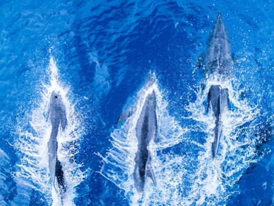 Bottlenose dolphins. Baja California, Sea of Cortez, Mexico. by Tom Norring