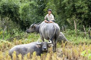 Boys are Taking Care of the Family Buffaloes. Sapa Region. Vietnam by Tom Norring