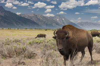 Buffalo. Grand Teton National Park, Wyoming. by Tom Norring