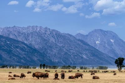 Buffalo Herd with Grand Teton Mountains behind. Grand Teton National Park, Wyoming. by Tom Norring
