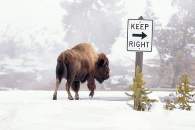 Buffalo looking for Direction. Yellowstone National Park. Wyoming. by Tom Norring