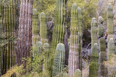 Cactus landscape. Angel de la Guarda Island. Baja California, Sea of Cortez, Mexico. by Tom Norring