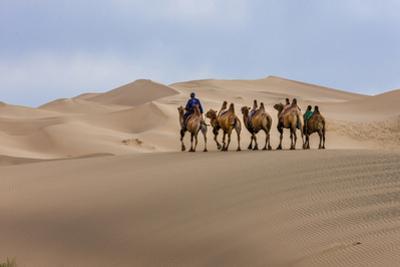 Camel Caravan in the Dunes. Gobi Desert. Mongolia. by Tom Norring