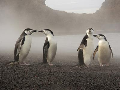 Chinstrap Penguin. Whaler's Bay, Deception Island. Antarctica. by Tom Norring