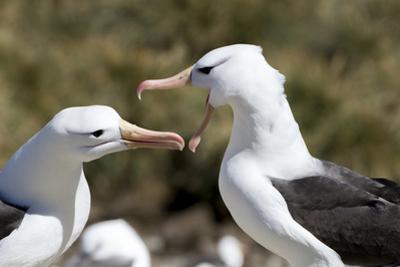 Communicating Black-Browed Albatross. Saunders Island. Falkland Islands. by Tom Norring