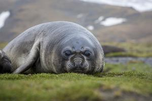 Elephant seal. Fortuna Bay, South Georgia Islands. by Tom Norring