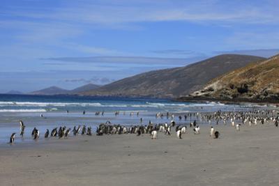 Gentoo and Magellanic Penguins. Saunders Island. Falkland Islands. by Tom Norring