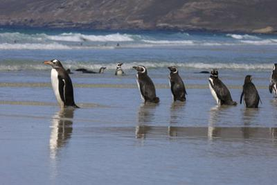 Gentoo Penguin and Magellanic Penguins. West Point Island. Falkland Islands. by Tom Norring