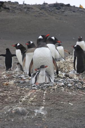 Gentoo Penguin. Barrientos Island, South Shetland Islands Antarctica. by Tom Norring