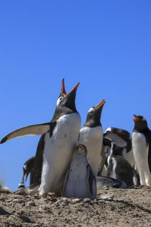 Gentoo Penguin Rookery. West Point Island. Falkland Islands. by Tom Norring