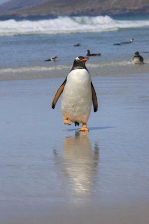 Gentoo Penguin. West Point Island. Falkland Islands. by Tom Norring