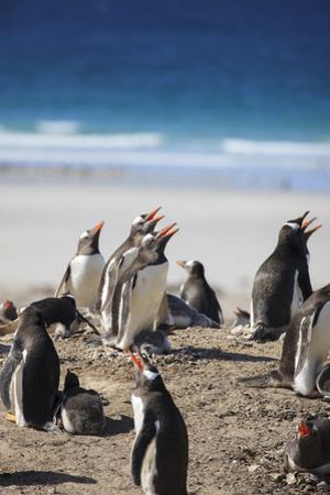 Gentoo Penguins. Saunders Island. Falkland Islands. by Tom Norring