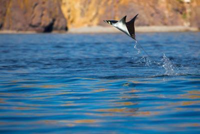 Jumping Mobula Ray. Gull Rock. Baja California, Sea of Cortez, Mexico. by Tom Norring