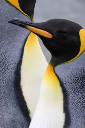 King penguin close-up showing the colorful curves of their feathers. St. Andrews Bay, South Georgia by Tom Norring