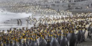 King penguin rookery at Salisbury Plain, South Georgia Islands. by Tom Norring