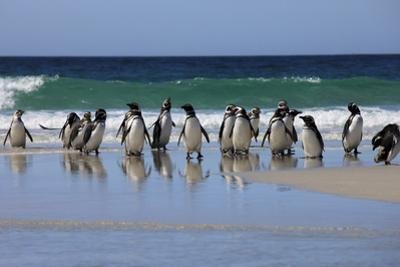 Magellanic Penguins. West Point Island. Falkland Islands. by Tom Norring