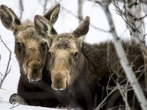 Moose at Grand Teton National Park, Wyoming, USA by Tom Norring