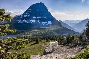 Mountain Goat in front of Bearhat Mountain and Hidden Lake. Glacier National Park, Montana, USA. by Tom Norring