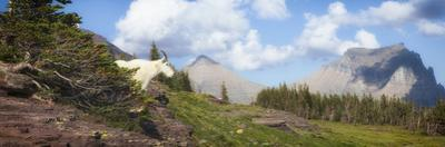 Mountain Goat on the Hillside. Glacier National Park, Montana, USA. by Tom Norring