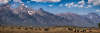 Panorama. Buffalo Herd with Grand Teton Mountains behind. Grand Teton National Park, Wyoming. by Tom Norring