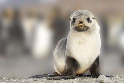 Portrait of seal pup on the beach of St. Andrews Bay, South Georgia Islands. by Tom Norring