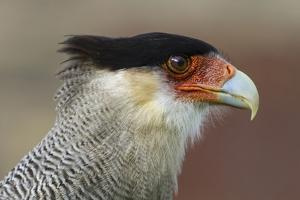 Portrait of Southern Crested Caracara. Torres Del Paine NP. Chile by Tom Norring