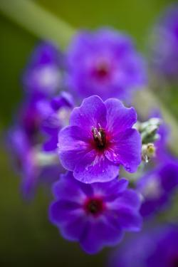 Purple Flower. Costa Rica. Central America by Tom Norring