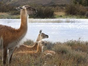 Resting Guanaco. Torres Del Paine NP. Chile. UNESCO Biosphere by Tom Norring