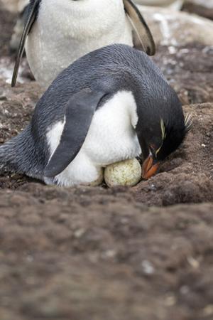 Rockhopper Penguin. Saunders Island. Falkland Islands. by Tom Norring