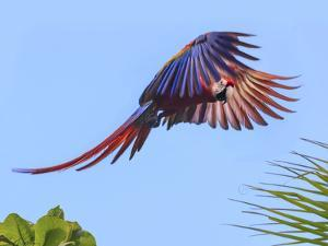 Scarlet Macaw in Flight. Costa Rica. Central America by Tom Norring