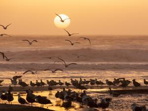Sea Birds on Beach, Sun Setting in Mist, Santa Cruz Coast, California, USA, by Tom Norring