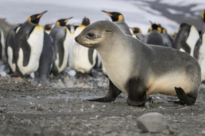 Seal pup with king penguins on beach of St. Andrews Bay, South Georgia Islands. by Tom Norring