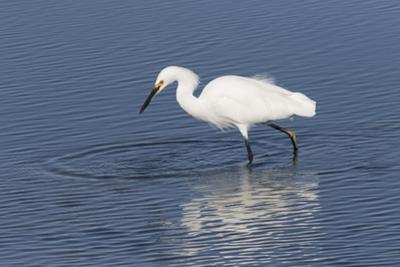Snowy egret. Elkhorn Slough. Monterey. California. by Tom Norring