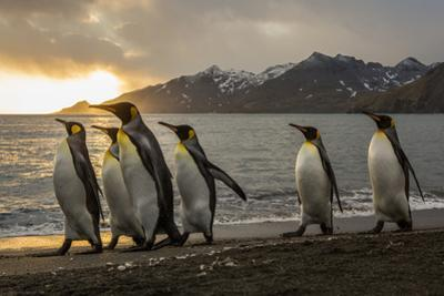 Sunrise with marching king penguins on the beach of St. Andrews Bay, South Georgia Islands. by Tom Norring