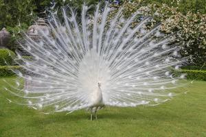 White Peacock. Palazzo Italian Garden Isola Bella. Borromean Islands. Lago Maggiore. Italy by Tom Norring