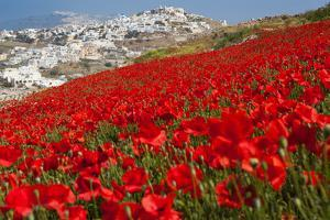 Red Poppies in Bloom above Pirgos, Santorini by Tom Pfeiffer / VolcanoDiscovery