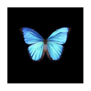Blue Butterfly on Black by Tom Quartermaine