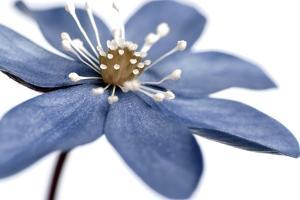 Blue Flower on White 2 by Tom Quartermaine