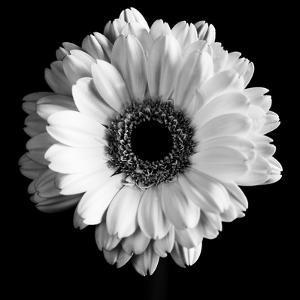 BW Flower on Black 01 by Tom Quartermaine